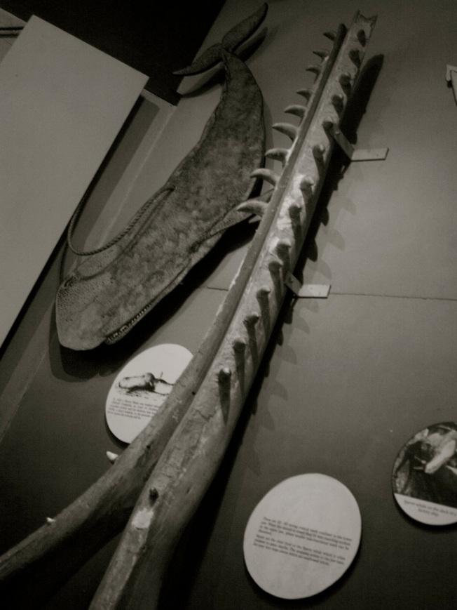 Sperm_Whale_Jawbone