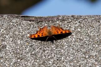 Butterflies 9
