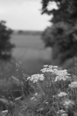 Cow Parsley 2