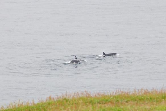 Orcas at Levenwick, Shetland, July 28, 2013.