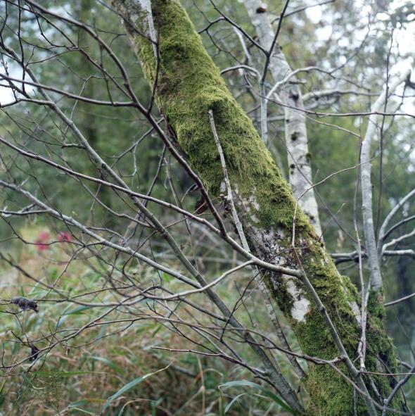 Birch Trees, Kodak Portra 400